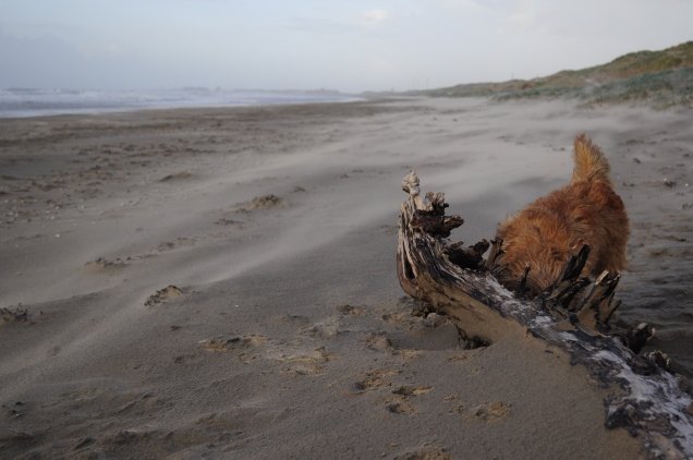 Strand Parnassia aan Zee Cairn Terrier annemiekschaap.com